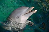 Head of Bottle-nosed Dolphin (Tursiops Truncatus) in ocean, Punta Cana, Dominican Republic