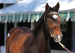 08 November  2009 Keeneland November sale.  Hip #250 Hard Spun - Mayfield colt.   This colt is by first crop sire, Hard Spun.