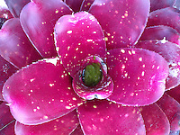 Magenta Bromeliad (Tillandsia), Maui Tropical Plantation, Maui, Hawaii, US