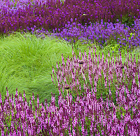 Meadow Sage, Salvia x sylvestris 'Amethyst' flowering perennial in foreground, Lurie Garden at Millenium Park, Chicago with other sages and Prairie Dropseed grass (Sporobolus)
