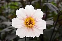 Dahlia 'Twyning's After Eight' (AGM) (Sin) single white flowers with dark black foliage