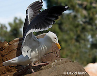 1128-1005  Western Gull, Larus occidentalis  © David Kuhn/Dwight Kuhn Photography