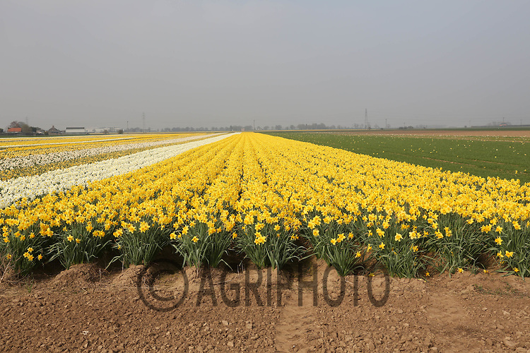31.3.2012 Daffodils being grown on a commercial scale in the Lincolnshire Fens.