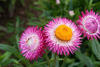 Helichrysum bracteatum Dwarf Mixed strawflowers