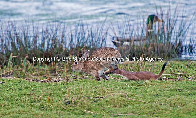 Pictured:  The stoat chasing a rabbit<br /> <br /> Stoat-ally mad - an acrobatic stoat somersaults through the air.  The excitable animal chased birds on the windless morning and later caught a rabbit.<br /> <br /> After making its catch, it dragged its prize to a nearby rabbit hole, away from other predators such as foxes and buzzards.  The pictures were taken at Marazion Marsh, Cornwall, by keen amateur photographer Bob Sharples.  SEE OUR COPY FOR DETAILS.<br /> <br /> Please byline: Bob Sharples/Solent News<br /> <br /> © Bob Sharples/Solent News & Photo Agency<br /> UK +44 (0) 2380 458800