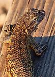 Lizard of Crystal Cove.