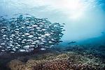 Trevally Jacks follow Black tip reef shark, Philippines, Tubbataha, Wide Angle Reef Scenes, Unesco World Heritage Site
