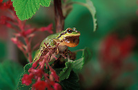 Pacific Tree Frog croaking on red current bush..Southern British Columbia. Canada..Spring. Hyla regilla.