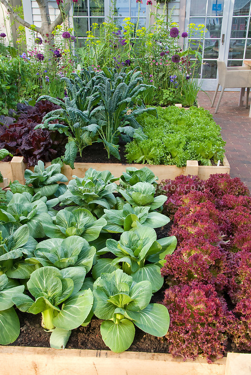 Edible landscaping in suburban / urban backyard raised beds vegetable garden on brick patio, with upscale house and French doors visible, patio chair, rows of red lettuces, green lettuce, kale, pak choi, salad greens, flowers, cabbage