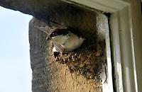 House Martin (Delichon urbicum) building a nest, Clitheroe, Lancashire.....Copyright..John Eveson, Dinkling Green Farm, Whitewell, Clitheroe, Lancashire. BB7 3BN.01995 61280. 07973 482705.j.r.eveson@btinternet.com.www.johneveson.com