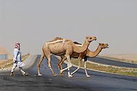 JORDAN desert, camel crossing the highway to Amman  / JORDANIEN, Wueste , Kamele ueberqueren die Autobahn nach Amman