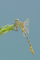 333920003 a wild male brimstone clubtail dragonfly stylurus intricatus perches on an arroweed plant near el centro in imperial county california united states