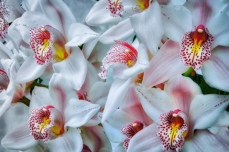 Cymbidium Orchid. Oregon Coast Garden Center.