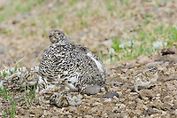 White-tailed Ptarmigans (Lagopus leucurus)--hen with young chicks.  Mount Rainier National Park, WA.  Summer.