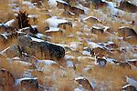 Pronghorn, Wyoming, USA