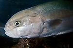 Bluefish, close-up swimming left.