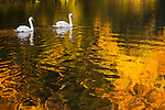 Against the reflection of autumn colors, a pair of swans cross Lake LaVerne on the campus of Iowa State University in Ames, Iowa. (Christopher Gannon/Gannon Visuals)