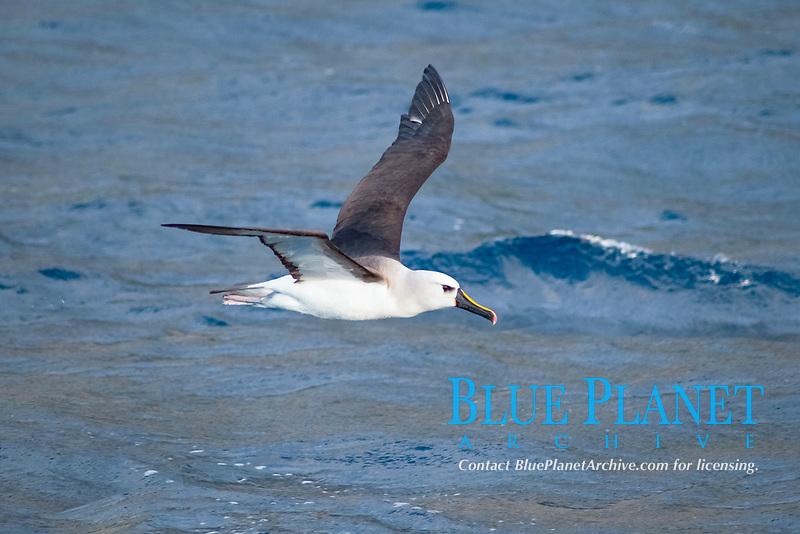 Atlantic Yellow-nosed Albatross (Thalassarche chlororhynchos chlororhynchos) adult bird taking off. Off the Island of Tristan Da Cunha, South Atlantic Ocean
