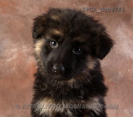 Xavier, ANIMALS, dogs, photos(SPCHdogs741,#A#) Hunde, perros