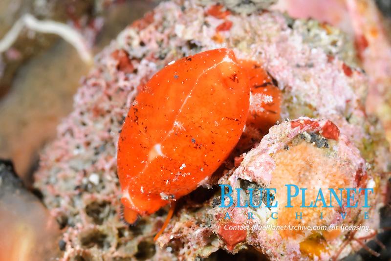 Zig Zag cowrie, Palmadusta ziczac, Lembeh Strait, Sulawesi, Indonesia, Pacific Ocean