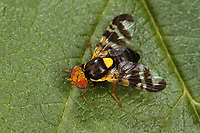 Kirsch-Fruchtfliege, Kirschfruchtfliege, Fruchtfliegen, Rhagoletis cerasi, Rhagoletis signata, Trypeta signata, cherry fruit fly, tephritid fruit fly, Bohrfliegen, Tephritidae, tephritid fruit flies