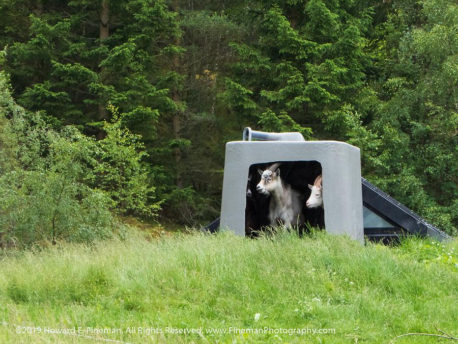"Goats ""mowing"" grass ROOFTOPS"
