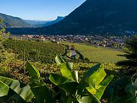 Bananenpflanzen am Algunder Waalweg, Algund bei Meran, Region Südtirol-Bozen, Italien, Europa<br /> Banana plants at hiking trail Algunder Waalweg,  Lagundo village near Merano, Region South Tyrol-Bolzano, Italy, Europe
