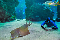 common guitarfish, Rhinobatos rhinobatos, accompanied by Pierre Frolla, the world champion of free diving, Oceanographic Museum and Aquarium of Monaco (c), MR