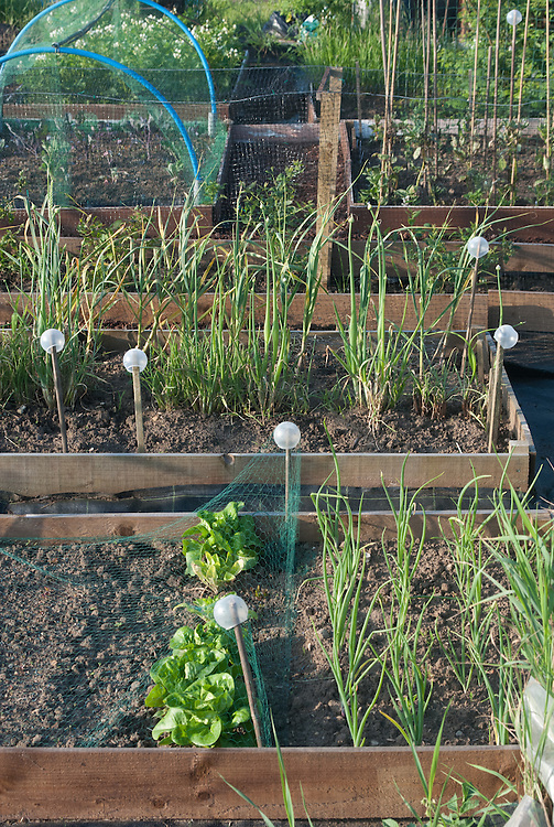 Raised beds on an allotment site.