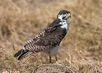 The live mascot of our Seattle Seahawks (which is the nickname for an osprey) is actually an Augur Buzzard.