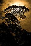 Rainforest canopy - Menggaris tree - by moonlight. Danum Valley, Sabah, Borneo.