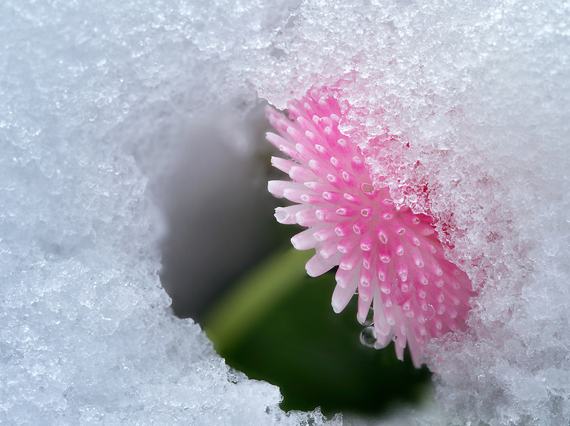 Close up of English Daisy with snow. Oregon