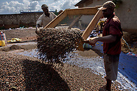 Two men use a giant sieve to remove impurities from a pile of dried cocoa bean seed.