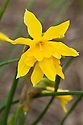 Campernelle jonquil (Narcissus x odorus 'Regulosus'), a Division 13 daffodil, mid February.