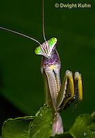 1M38-329z  Praying Mantis adult displaying in praying position - Tenodera aridifolia sinensis