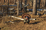 Tom turkey strutting for a hen in northern Wisconsin