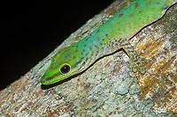 Speckled day gecko (Phelsuma guttata) on tree trunk, Nosy Mangabe, Bay of Antongil, Northeast Madagascar, Madagascar, Africa