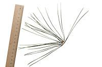 Schwarz-Kiefer, Schwarzkiefer, Schwarzföhre, Kiefer, Pinus nigra, Pinus austriaca, Black Pine, Austrian pine, Le Pin noir d'Autriche