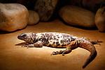 Foto: VidiPhoto<br /> <br /> VLISSINGEN – In reptielenzoo Iguana leven de meest wonderlijk reptielen en amfibieën. De meeste zijn door de douane of bij particulieren in beslag genomen. De Vlissingse reptielenopvang probeert waar mogelijk de dieren te herplaatsen in dierentuinen of weer terug te zetten in de natuur. Waar dat niet mogelijk is zorgt Iguana zelf voor opvang en zijn de dieren voor bezoekers te zien. Foto: Sauromalus varius - chuckwalla.