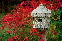 Handmade birdbox beside fall foliage of euonymous atropurpureus, Missouri USA