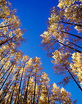 Aspen trees in afternoon light with crescent moon.