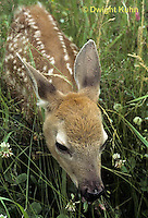 MA11-044z  White-tailed Deer - fawn - Odocoileus virginianus.