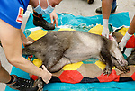 Foto: VidiPhoto<br /> <br /> ARNHEM – Een bijzonder moment bij Burgers' Zoo in Arnhem. Daar belandde maandagmiddag een aardvarken op de operatietafel. Het dier had een ontstoken wond aan het oor dat niet wilde genezen. De dierenarts moest er aan te pas komen om de wond schoon te maken en te hechten. En passant werden ook de nagels nog even geknipt. Burgers' Zoo is de enige dierentuin in Nederland met aardvarkens. Het park is bovendien de meest succesvolle dierentuin van Europa met het fokken van deze wonderlijke diersoort. Bijna de helft van alle aardvarkens in Europese dierentuin komt uit Arnhem.
