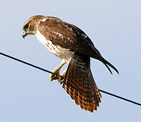 Young red-tailed hawk balancing on wire