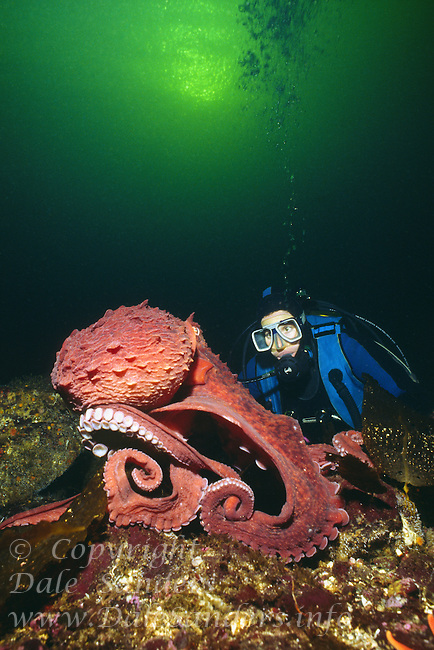 Diver and a Giant Pacific Octopus (Octopus dolfleini) underwater in Jervis Inlet, British Columbia, Canada.