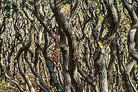 Detail of scrub oak trees, Cedar Tree Neck Sanctuary