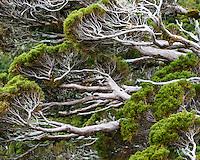 Mountain cedar close up, Egmont National Park, North Island, New Zealand, NZ