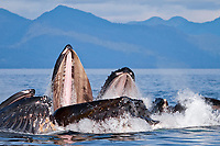 humpback whale, Megaptera novaeangliae, bubble-net feeding, Chatham Strait, Alexander Archipelago, Inside Passage, Alaska, USA, Pacific Ocean