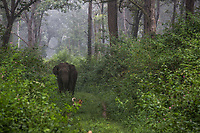 Dubare forest . Elephant<br /> Elefante nella foresta, con cagnolino
