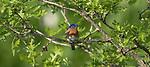 Male eastern bluebird perched in a burr oak tree